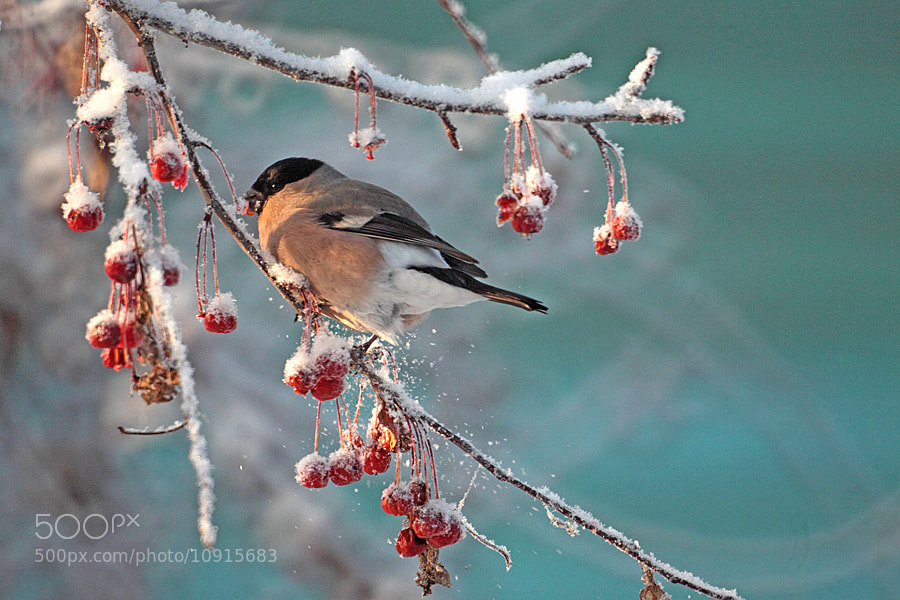 bullfinch by Mars Shangareev (chmars) on 500px.com