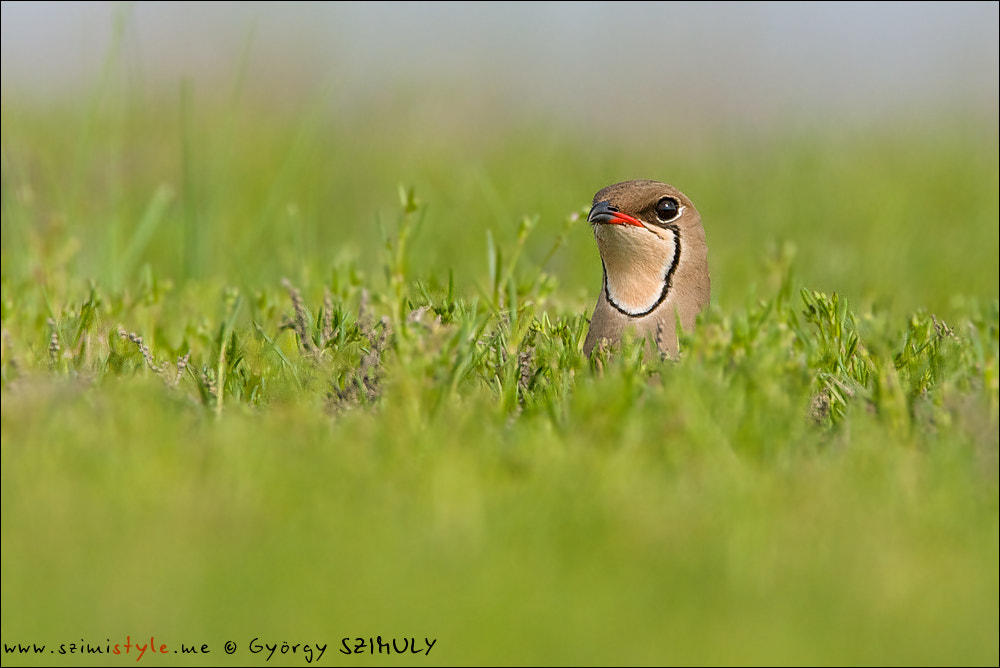 Photograph Collared Pratincole (Glareola pratincola) by Gyorgy Szimuly on 500px