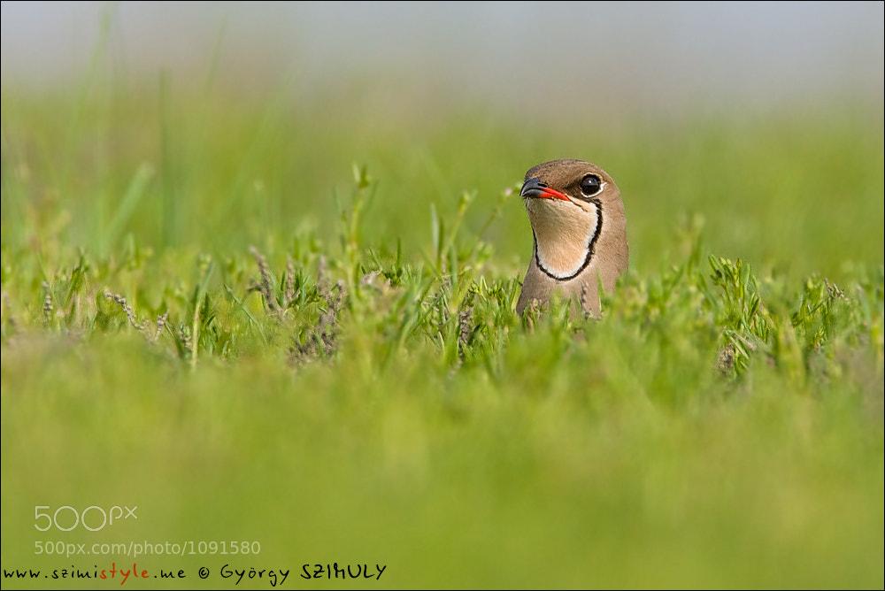 Photograph Collared Pratincole (Glareola pratincola) by Gyorgy Szimuly on 500px