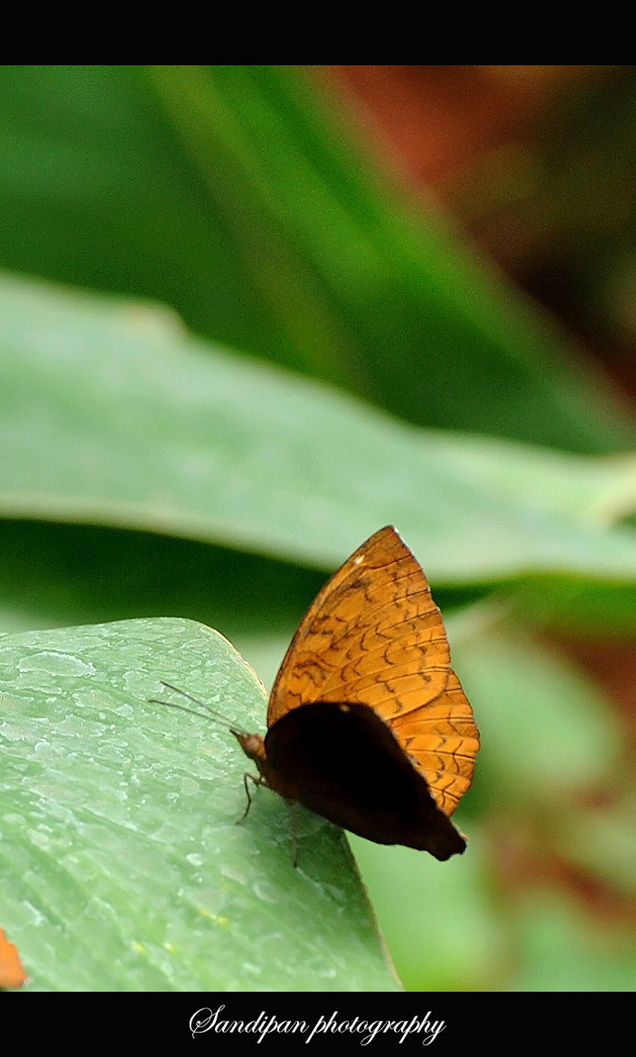 Photograph Butterfly by Sandipan Bhattacharya on 500px