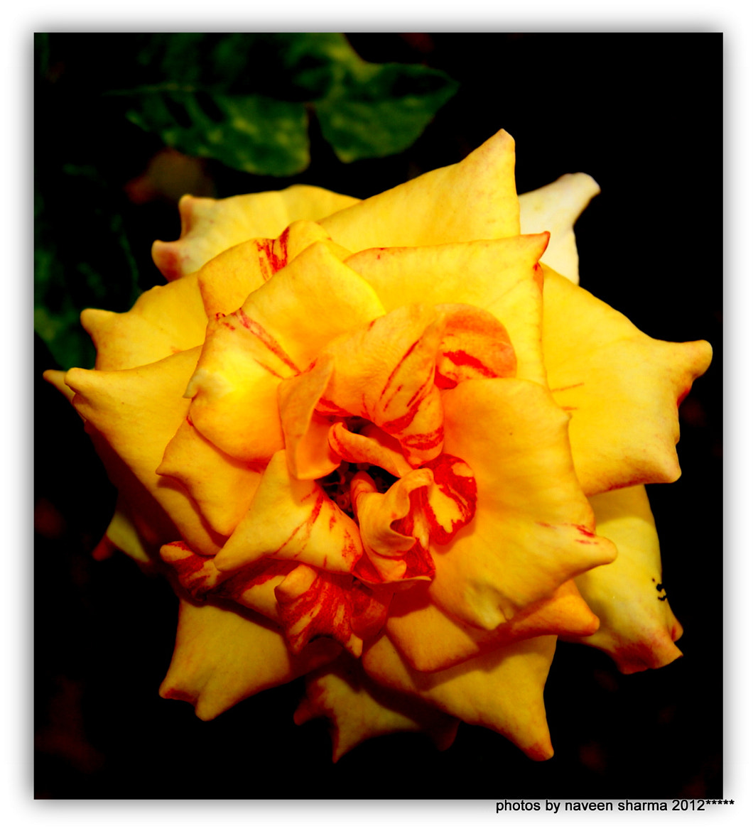 Photograph Rose flower beauty by naveen sharma on 500px