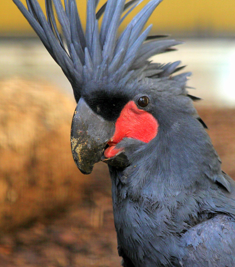 Photograph Palm cockatoo by Rainer Leiss on 500px
