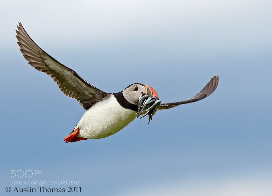 Photograph Puffin in flight by Project Puffin on 500px