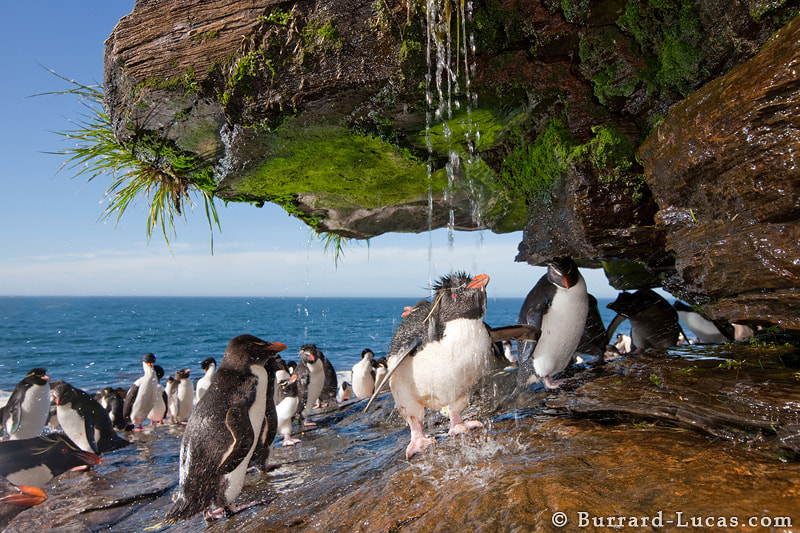 """Rockhopper Penguins taking a freshwater shower in the Falkland Islands. The penguins use the waterfall to wash off the sea salt and dirt from the nesting colony. Competition for space under the small waterfall is intense and often leads to noisy disputes! We used a couple of off-camera flashes to illuminate the underside of the overhang.  - More <a href=""""http://www.burrard-lucas.com/falklands/"""">Falkland Island photos</a>"""