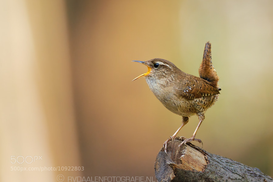 Photograph Sing-A-Long with the Wren by Remco van Daalen on 500px