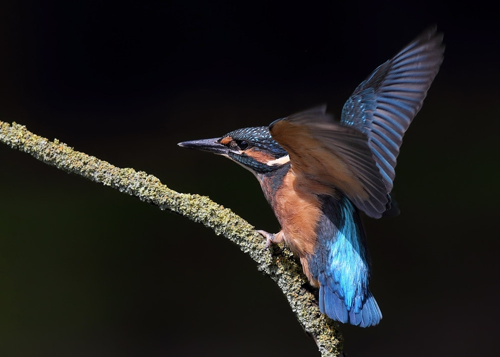 Photograph Juvenile Kingfisher by Karen Summers on 500px