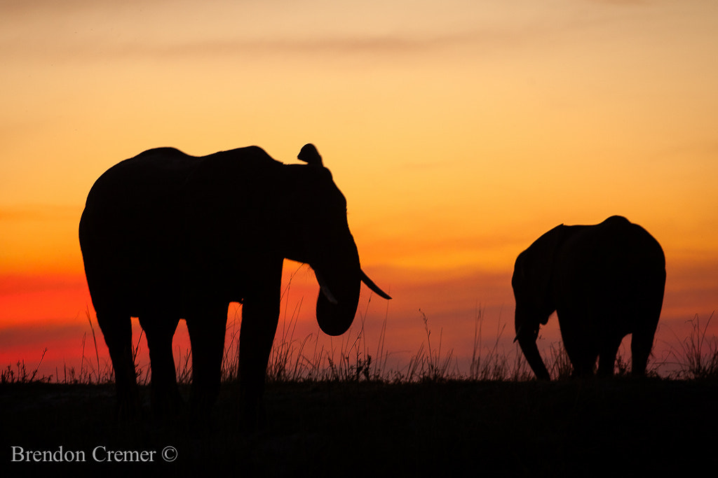 Photograph Elephant Silhouettes by Brendon Cremer on 500px