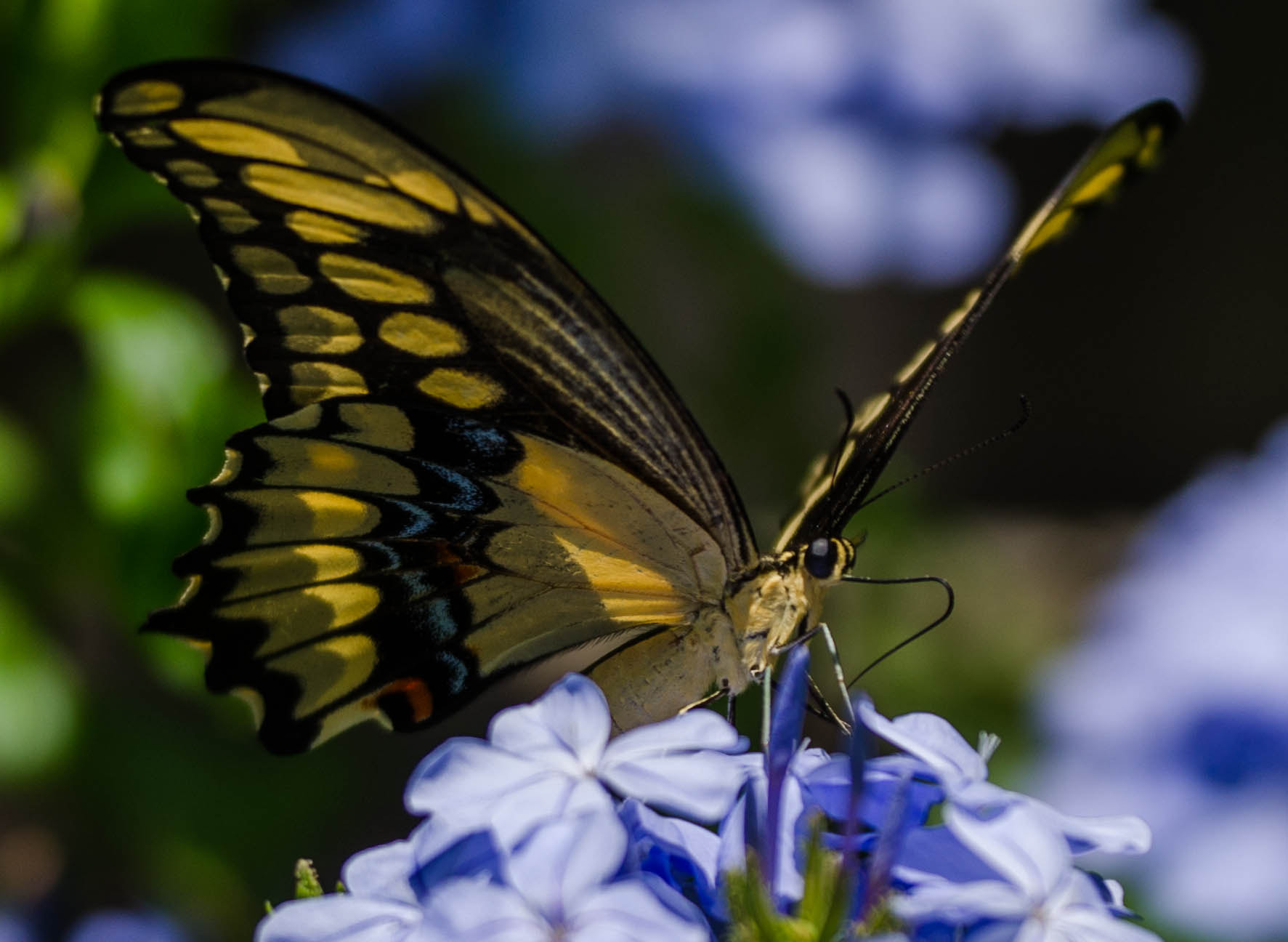 Photograph Giant Swallowtail on a Plumbago by Ray Campbell on 500px