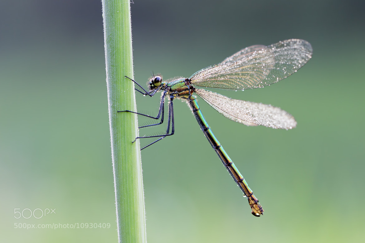 Photograph Banded Demoiselle (F) by Nico van Leeuwen on 500px