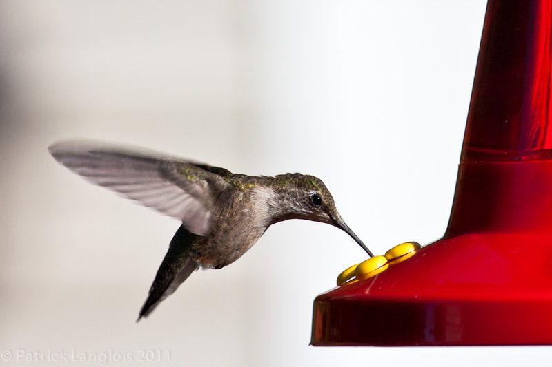 Photograph Colibri / hummingbird by Patrick Langlois on 500px
