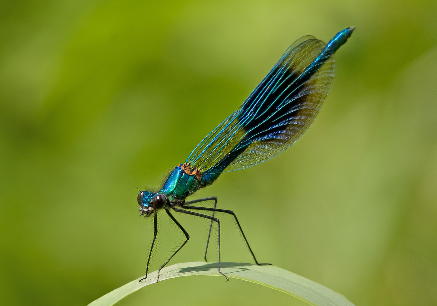 Photograph Banded Demoiselle by Gary Howells on 500px