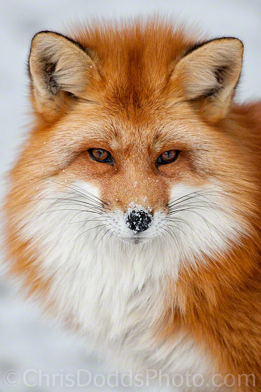 Photograph Frosty Foxy by Christopher Dodds on 500px
