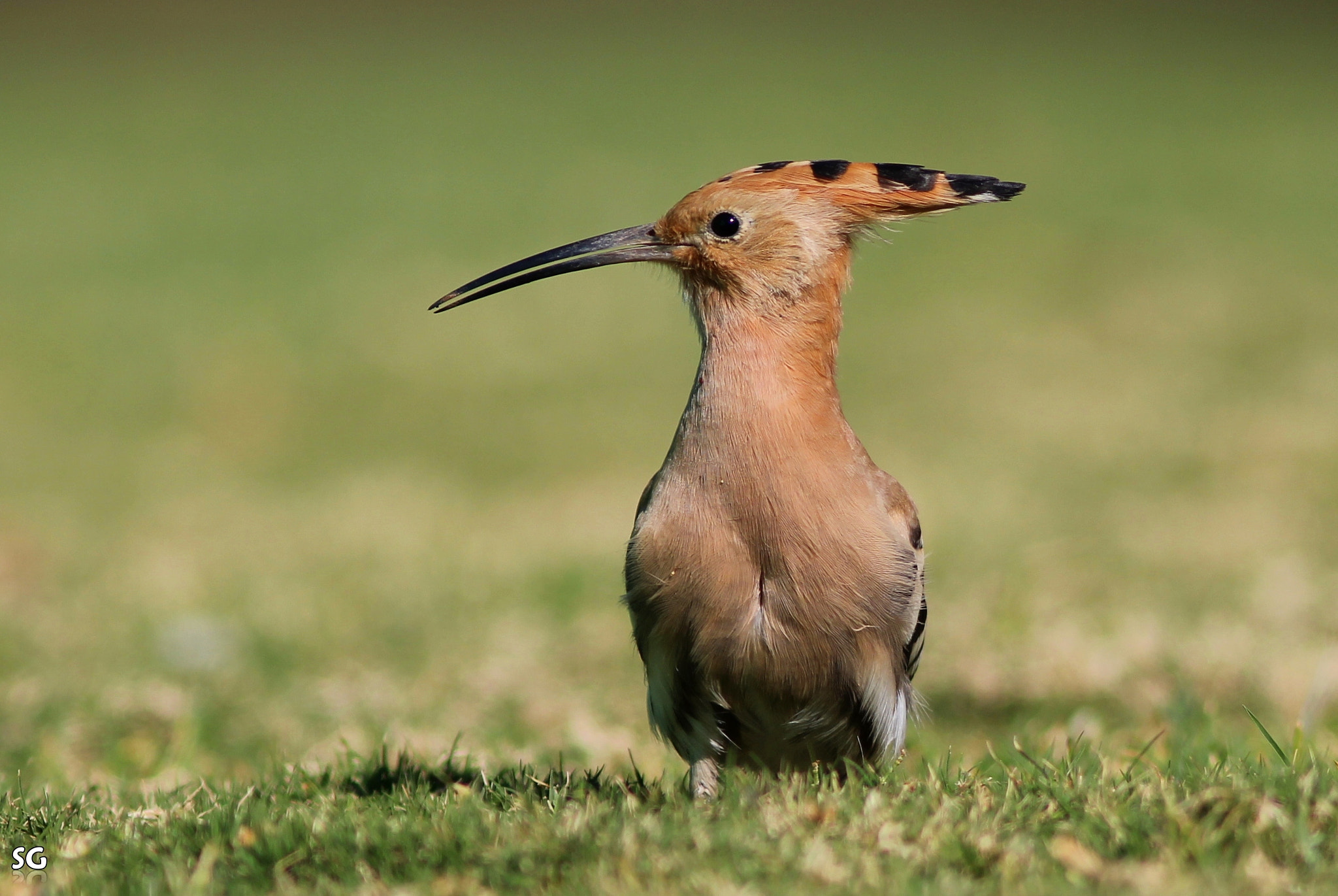 Photograph Hoopoe Pose by Shai  Getzoff on 500px
