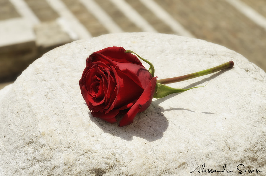 Photograph THE ROSE by Alessandro Serresi on 500px