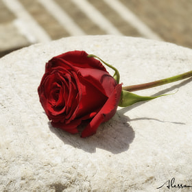 THE ROSE by Alessandro Serresi (AlessandroSerresi)) on 500px.com