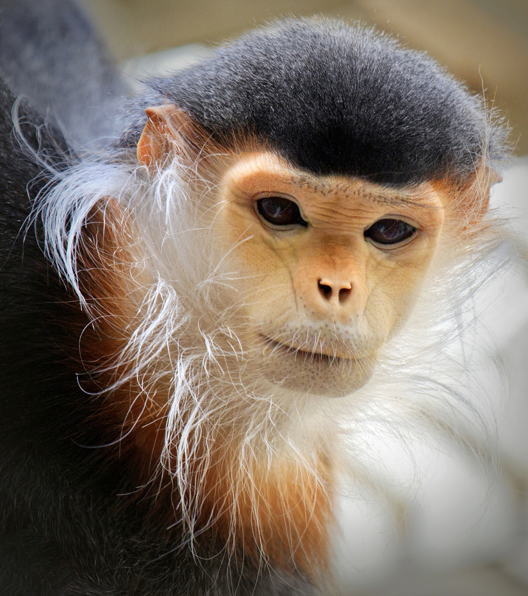 Photograph Red Shanked Douc Langur by Ann J. Sagel on 500px