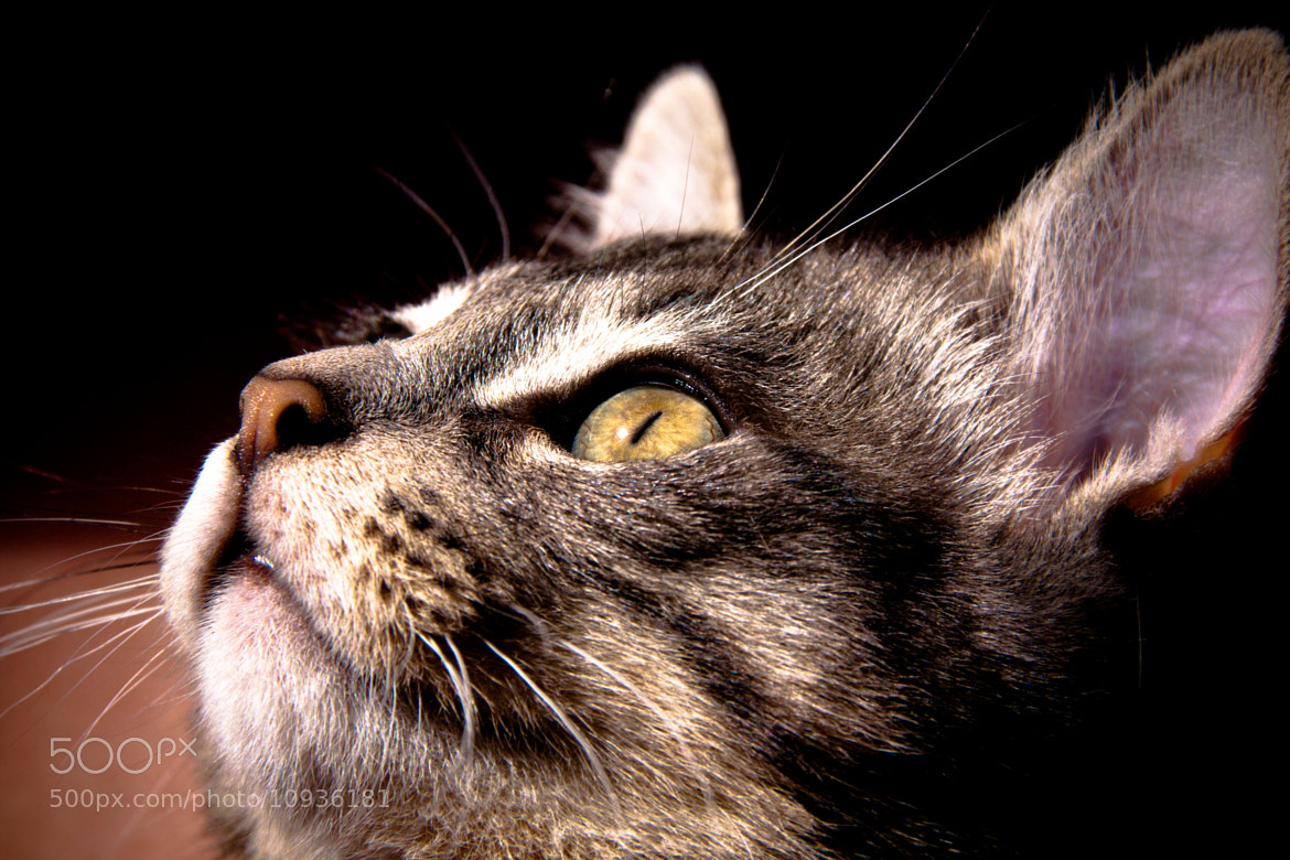 Photograph Naala the CAT by Arian Noveir on 500px