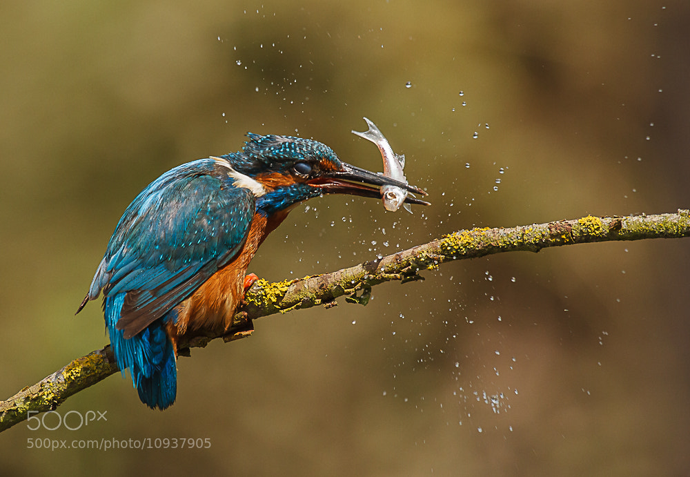 Photograph The catch  (Male Kingfisher) by John Starkey on 500px