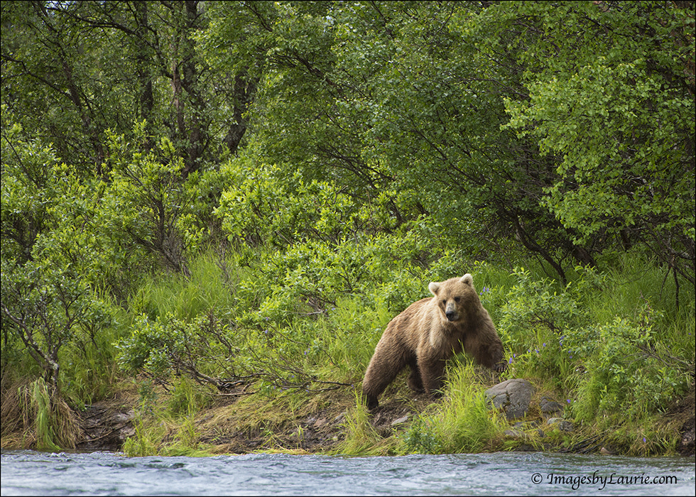 Photograph Beautiful Bear by Laurie Rubin on 500px