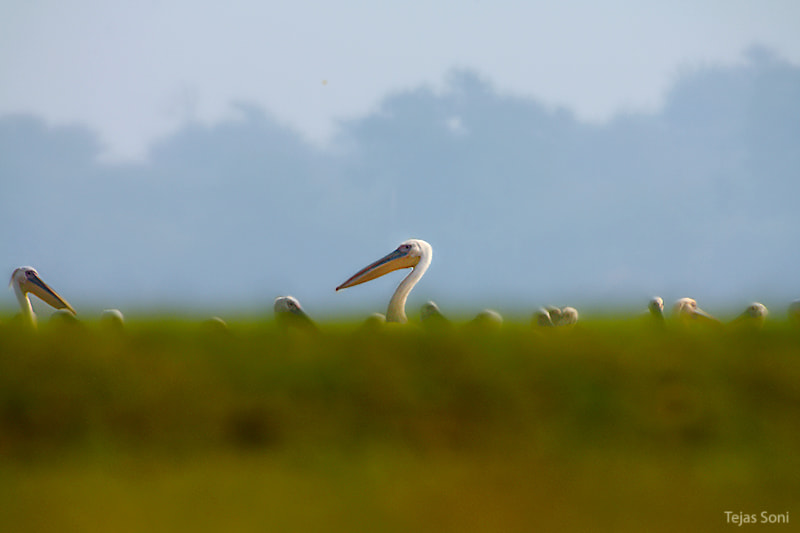 Photograph Great white pelican by Tejas Soni on 500px