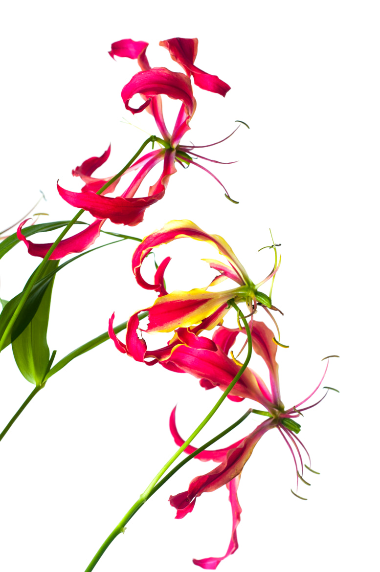 Photograph Gloriosa superba by Jim McKinley on 500px