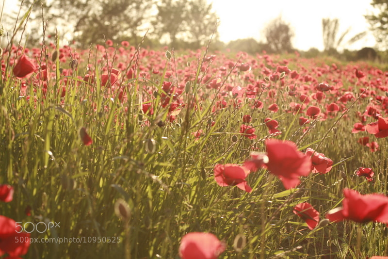 Photograph Sun kissed poppies by Elisabetta Pozzobon on 500px