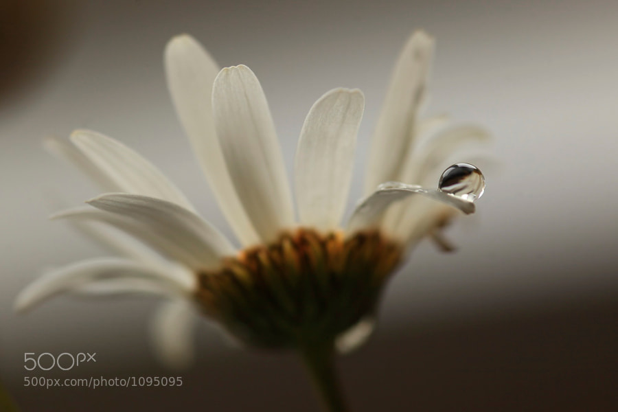 Water droplet on the petal of a wild daisy, reflecting other petals.