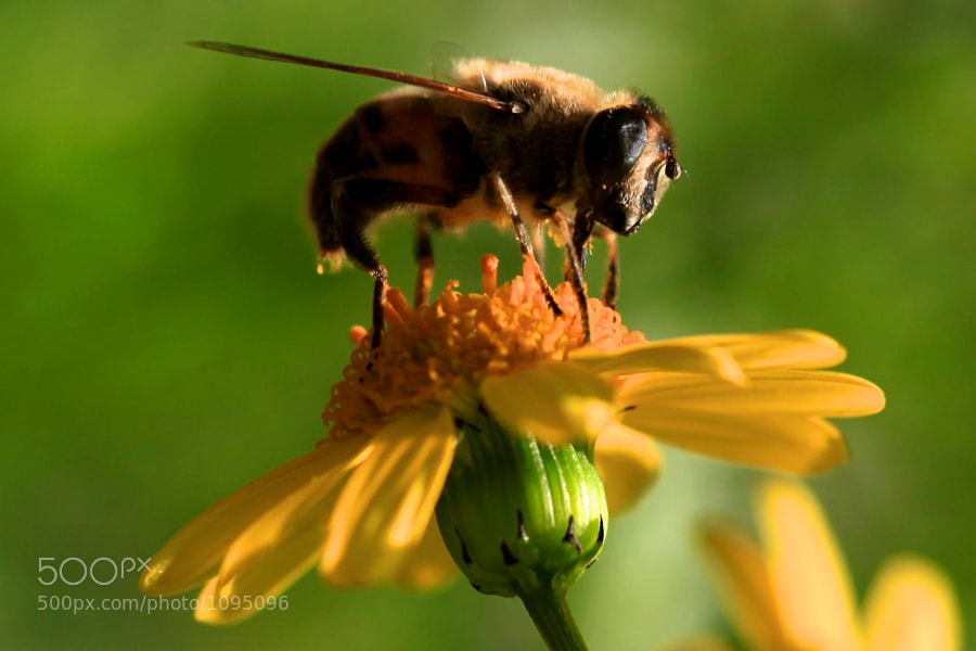 Hover fly gathers pollen in the Summer.