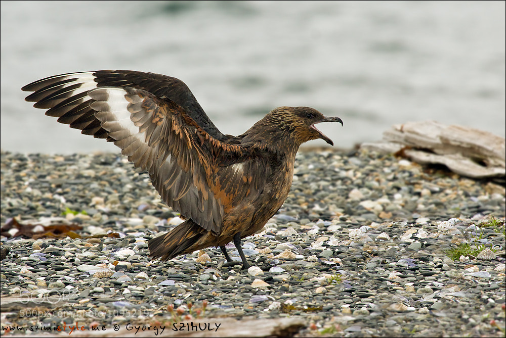 Photograph Chilean Skua (Stercorarius chilensis) by Gyorgy Szimuly on 500px
