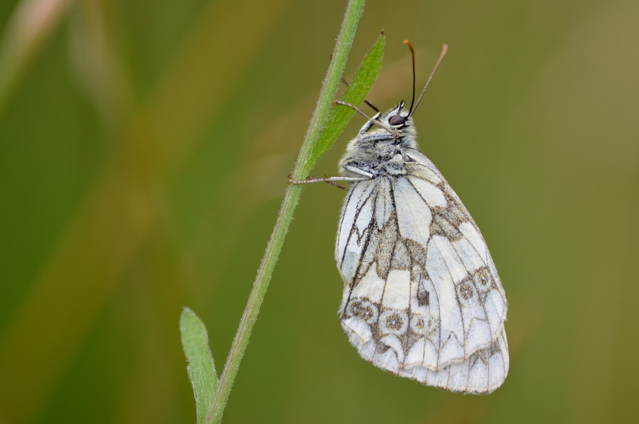 Photograph Marbled White by Ryan Clark on 500px