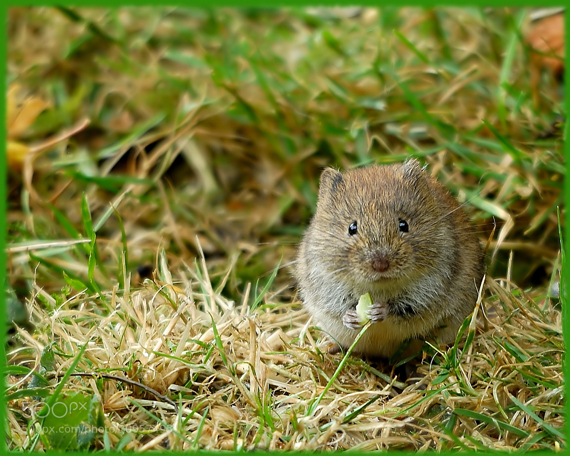 Photograph Vole in garden by John Barker on 500px