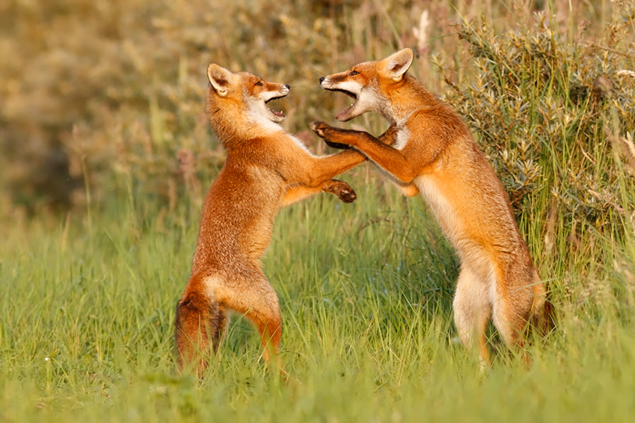 Photograph Playfighting Fox Kits by Roeselien Raimond on 500px