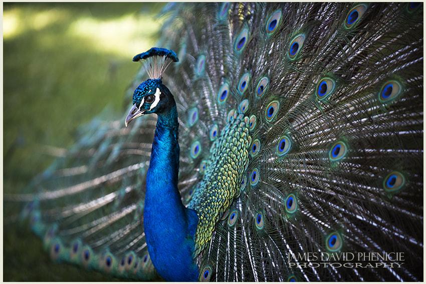 Peacock Strutting