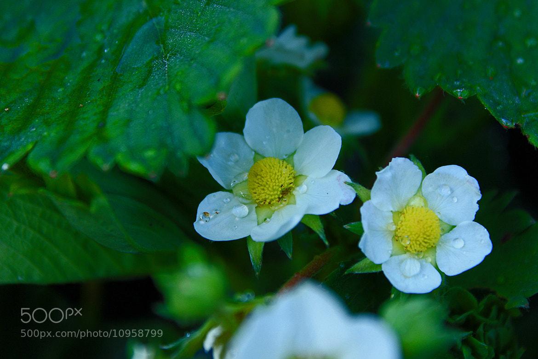 Photograph strawberry flower with droplets by Alicja Wisniewska on 500px