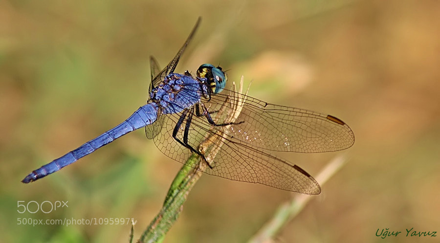 Photograph Dragonfly by Ugur Yavuz on 500px