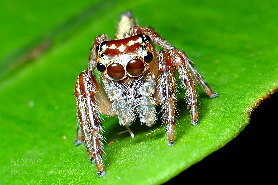 Photograph Jumping Spider by Rahim Rahmad on 500px