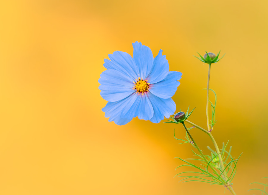 Cosmos flower by Dave B