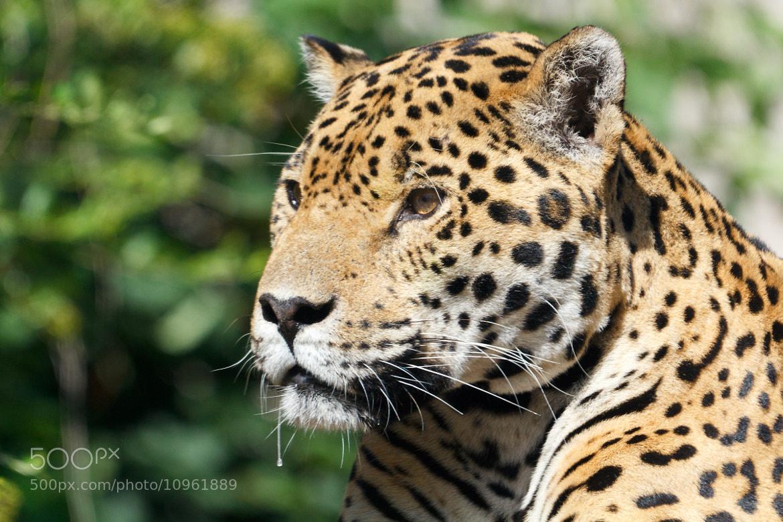 Photograph Jaguar by Mladen Janjetovic on 500px