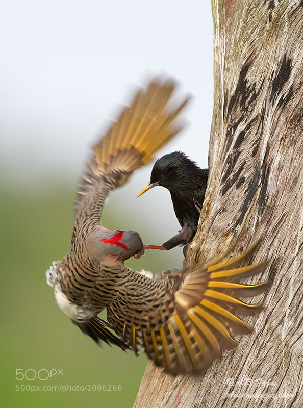 Photograph Fighting for a nest by Alfred Forns on 500px