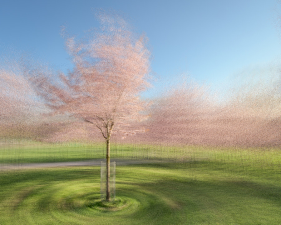 Blossoming cherry trees in the evening light