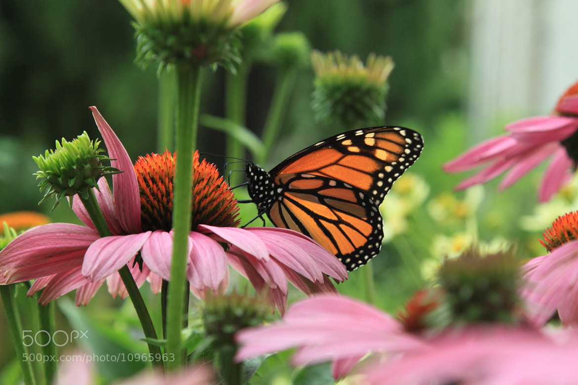 Photograph Monarch Butterfly by Johnson Li on 500px
