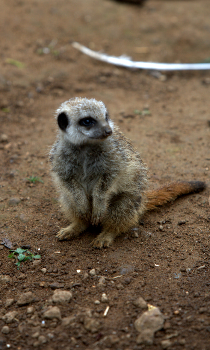 Photograph meerkat by Neil Brownlee on 500px