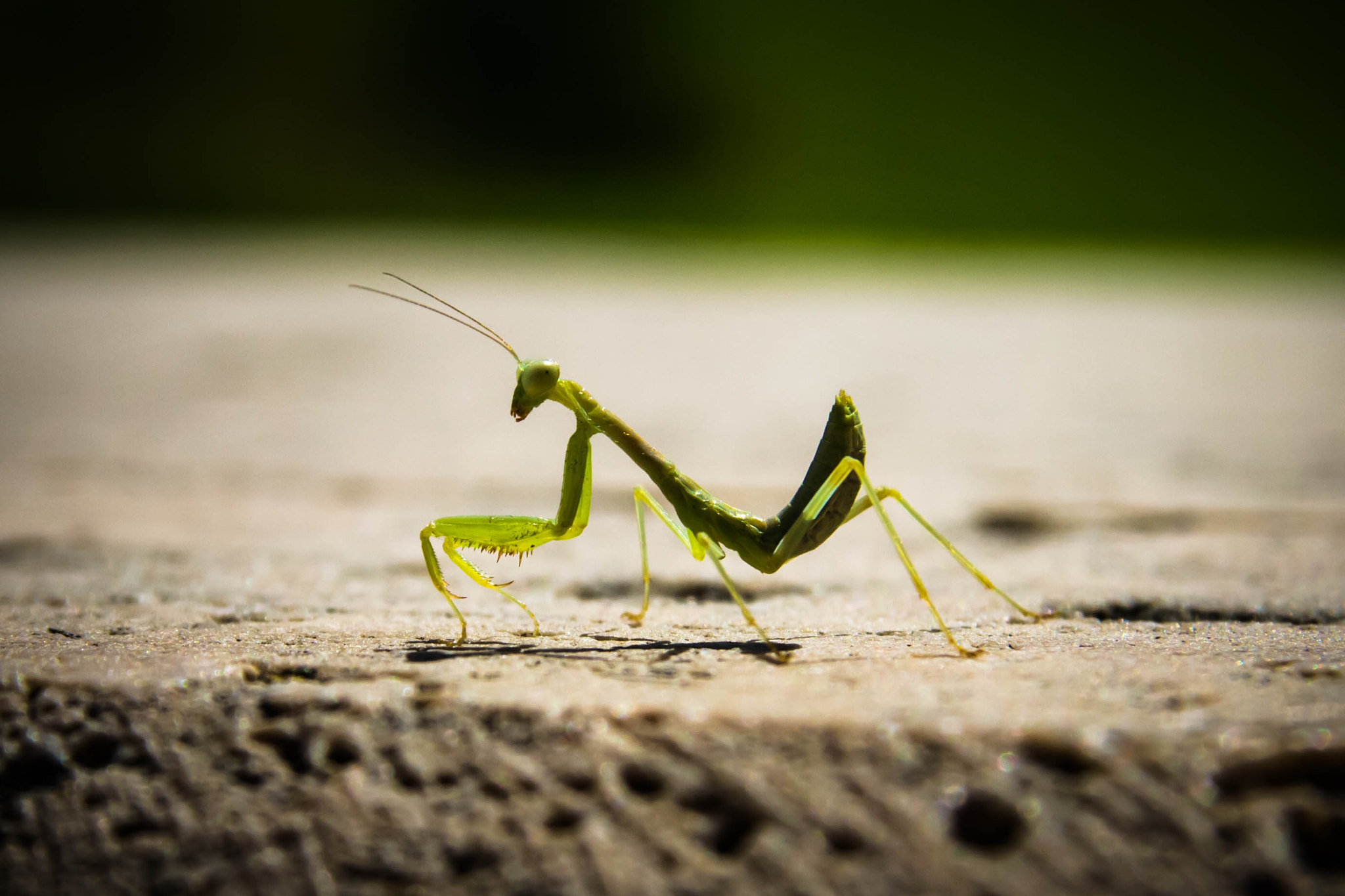 Photograph Baby Mantis by Ryan Opaz on 500px