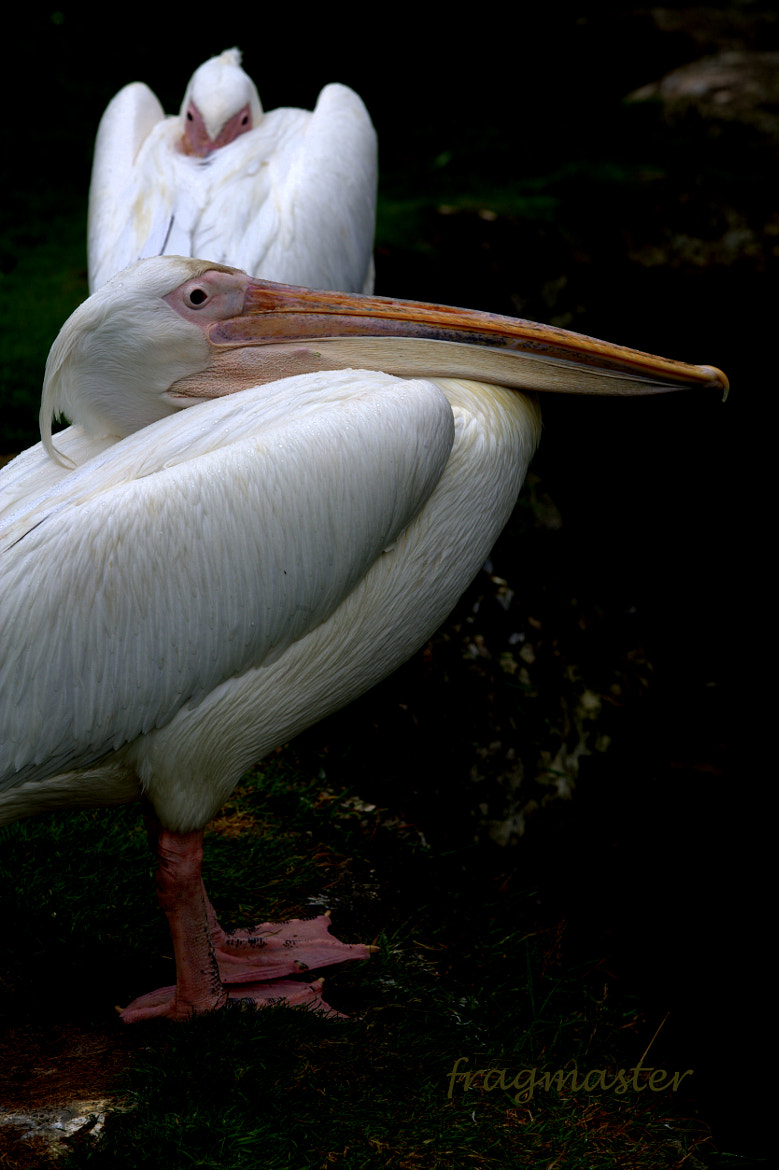 Photograph pelican by Neil Brownlee on 500px