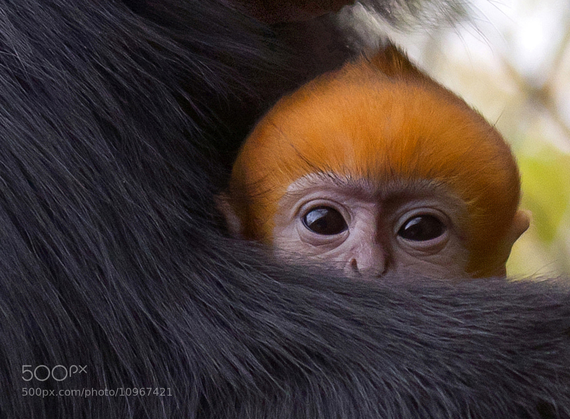 Photograph Monkey by Henk Olieman on 500px