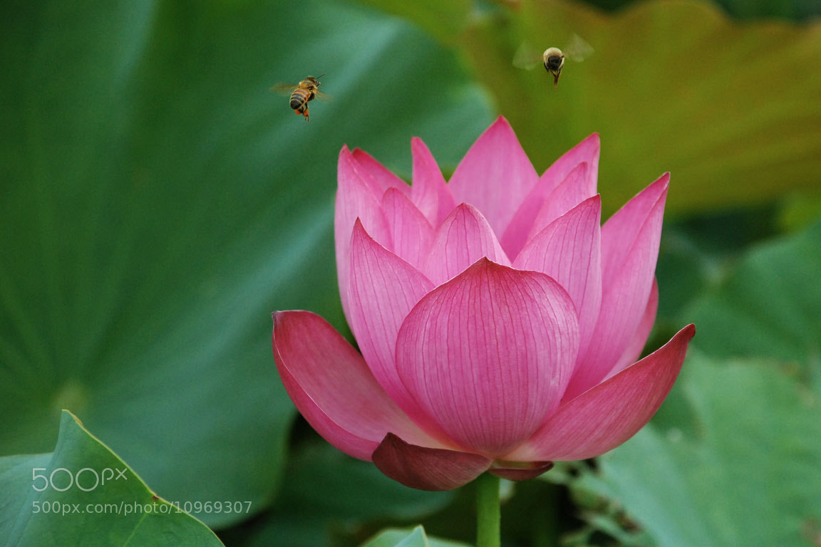 Photograph lotus by lily su on 500px
