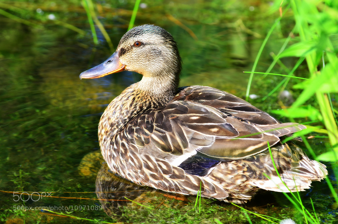Photograph Brown eye duck! by Eric Le Bel on 500px