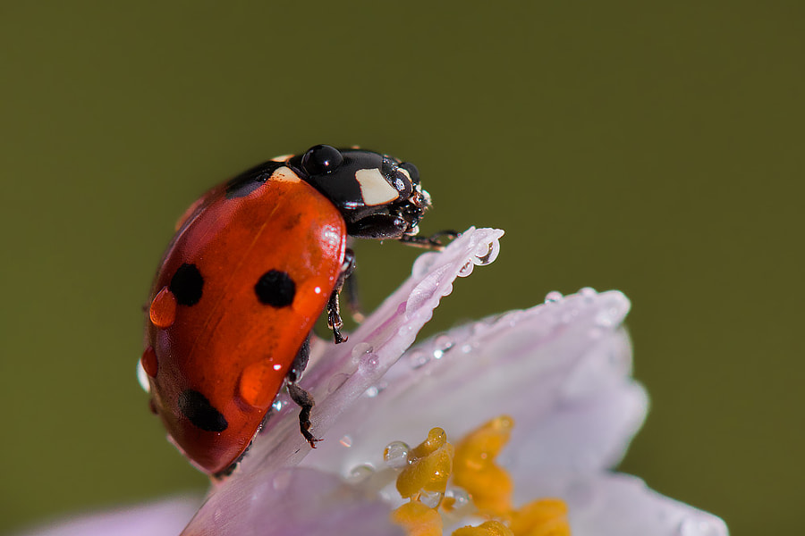Seven-spot ladybird by Roberto Melotti on 500px.com