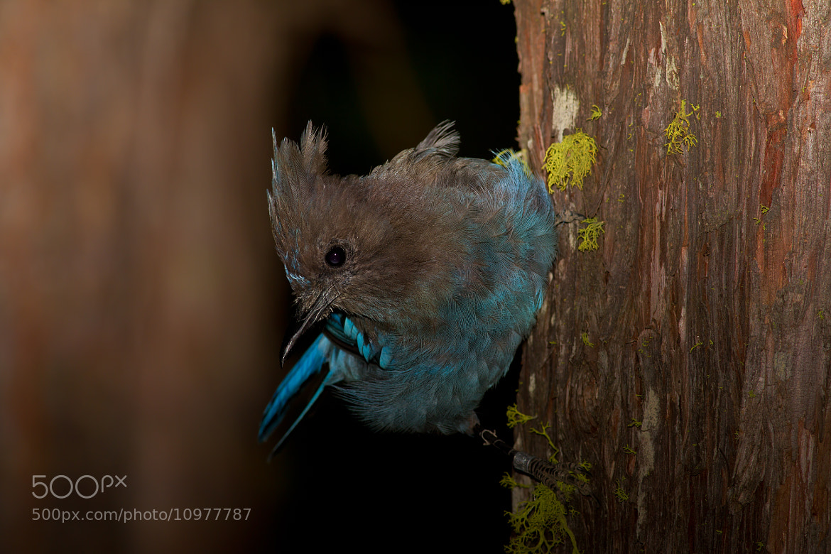 Photograph Steller's Jay by Joseph Trinh on 500px