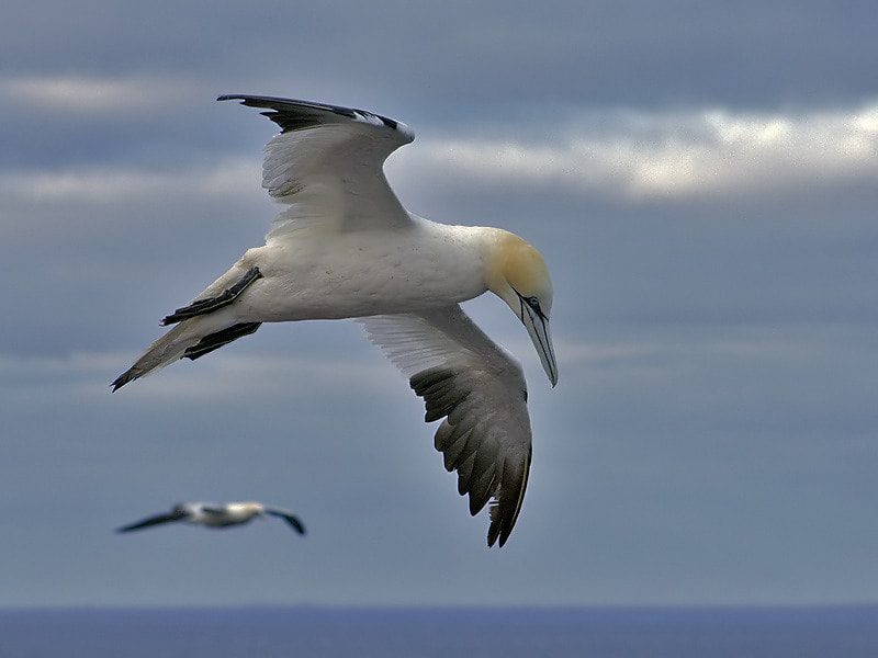 Photograph Gannet by Aat Bender on 500px